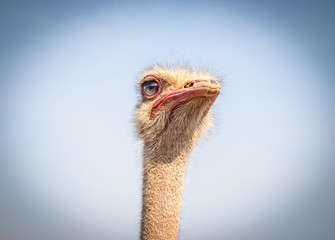 Ostrich face isolated against blue sky