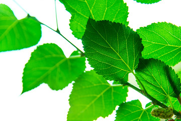 Mulberry leaves. Berry in farm. Green Leaf