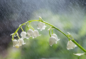 Blossoming lily of the valley in forest with rain a close up.