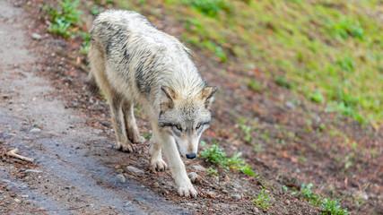 Timberwolf (gray wolf) walking on the trail.