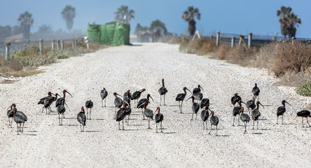 A black ibises in the Maagan Michael kibutz - Israel