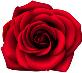 Decorative red rose isolated on white. Vector rose