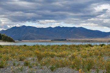 Yellow flowers grown by lakeside at Lake Tekapo, South Island of New Zealand