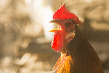 crowing red rooster
