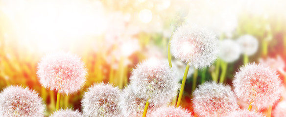 Fluffy dandelion flower against the background of the summer lan