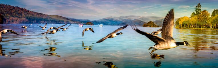 Flock of Ducks flying low at Lake Windermere Wall mural