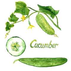 Cucumber branch with flowers, leaves, cucumber and slice, isolated hand painted watercolor illustration