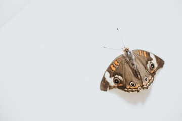 Butterfly against white background