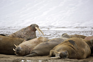 Walrus haul-out