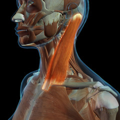 Female Sternocleidomastoid Neck Muscle