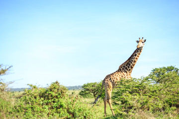 Giraffe in Nairobi National Park, Kenya
