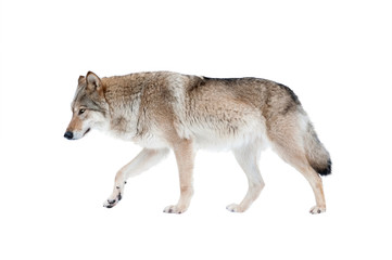Poster de jardin Loup wolf isolated over a white background