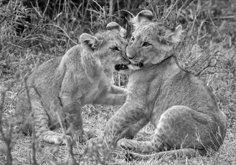 Black and white image of two Lion cubs play fighting with grass in the background. Taken in Kenya.