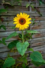 blossom of shiny sunflower
