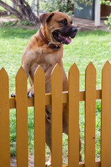 Male dog standing at yellow picket fence