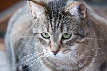 Grey, tabby cat staring and focused