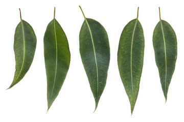 Eucalyptus Leaves Isolated on White