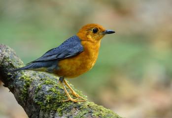 Orange-headed thrush (Geokichla citrina) beautiful orange bird w