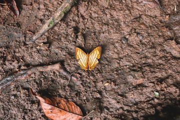 Close up of yellow butterfly on a the ground, Indonesia, Bali