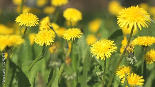 Beautiful yellow dandelions on a green meadow on a sunny spring day