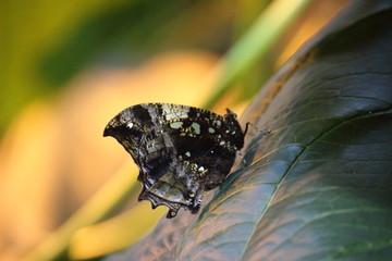 Fotoväggar - brauner Schmetterling