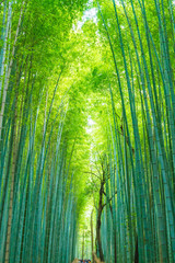 Photo sur Plexiglas Bamboo Path to bamboo forest at Arashiyama in Kyoto.