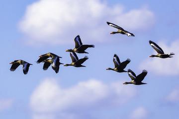 Patos Selvagens Voando