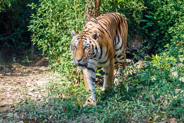 Siberian tiger in the zoo