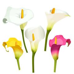 Collection of coloured arum lilies on white. Zantedeschia, calla lily