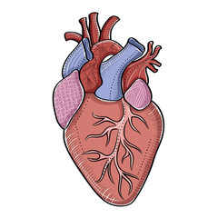 Artistic vector illustration of a human heart, isolated on white