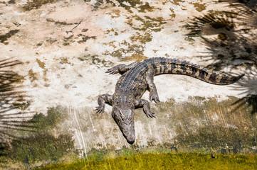 The alligator basks in the sun. Crocodile farm, Thailand.