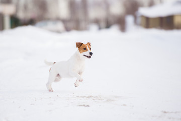 happy jack russell terrier dog outdoors in winter