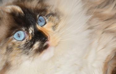 Gatto ragdoll in primo piano con stupendi occhi celesti