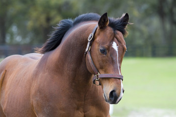 Beautiful thoroughbred horse in green farm field pasture equine industry