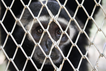 closeup Portrait of a caged Gibbon