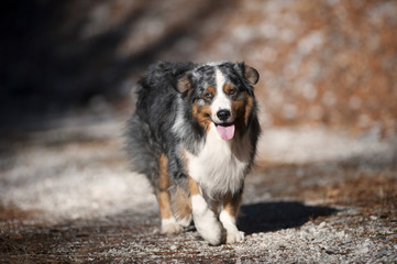 Portrait of beautiful fluffy blue merle australian shepherd on sunny autumn dog-walk. He is happy dog walking in his style, showing his tongue