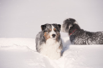 Blue merle australian shepherd in deep snow. Fluffy blue merle australian shepherd dog walking in deep snow. It is all white of snow, dog is showing happiness. He is doing snow track behind him.