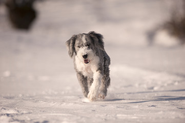 Happy purebred dog bearded collie running in the snow. He is trimmed, has short coat, blue with white markings. Portrait of bearded collie, hair cut ready for winter