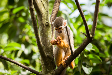 Squirrel monkey on top of a tree