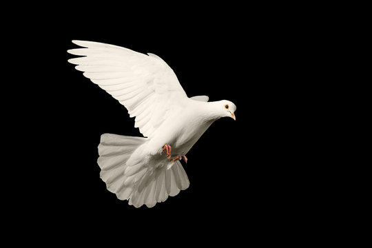 white dove flying symbol of love isolated on black background