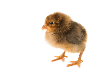 little chicken isolated