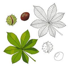 Aesculus. Buckeye. Horse chestnut. Chestnut. Medical plant.