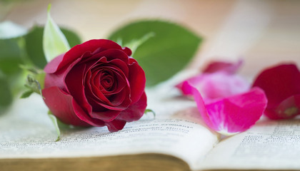 Red rose flower Valentines day concept idea