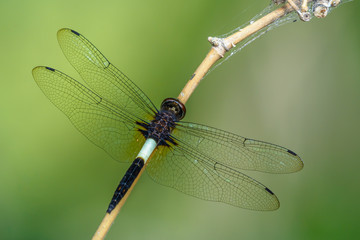 Beautiful dragonfly on branch with green background.