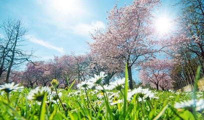 Wall Mural - Frühling, Glück, Freude: Gänseblümchen vor Japanischen Kirschblüten :)