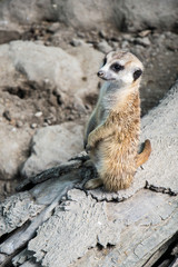 Cute meerkat posing in upright position animal