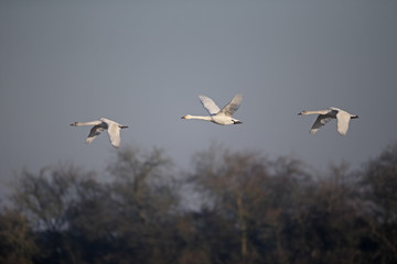 Fotoväggar - Bewicks swan, Cygnus columbianus bewickii
