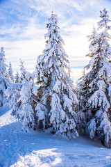 Pine trees covered by heavy snow against blue sky