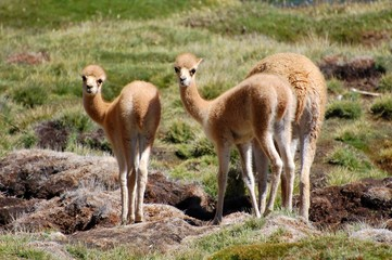 Young cute Vicunas in the Andes of Chile