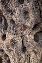 The surface of the trunk of the olive tree. Bark texture.